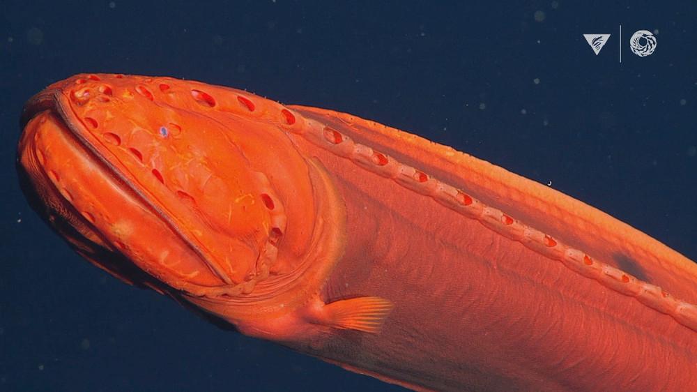 Lặn sâu 2.000m xuống đáy biển, phát hiện sinh vật kỳ quái 3 trong 1: Đánh lừa giới khoa học hơn 100 năm! - Ảnh 1.