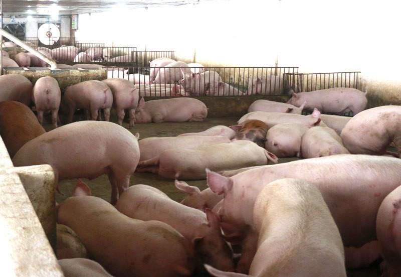 Giá lợn hơi chạm đáy 2 năm