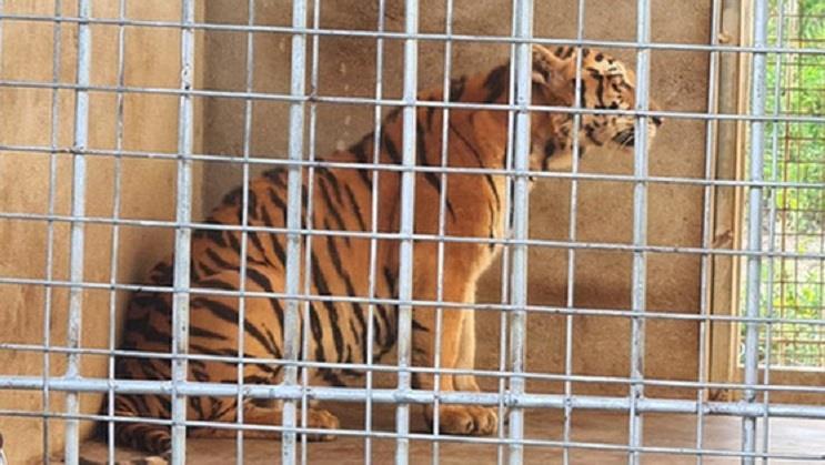 20 ngày tốn 400 triệu chăm 9 con hổ sau giải cứu ở Nghệ An, chưa đâu nhận nuôi - 1