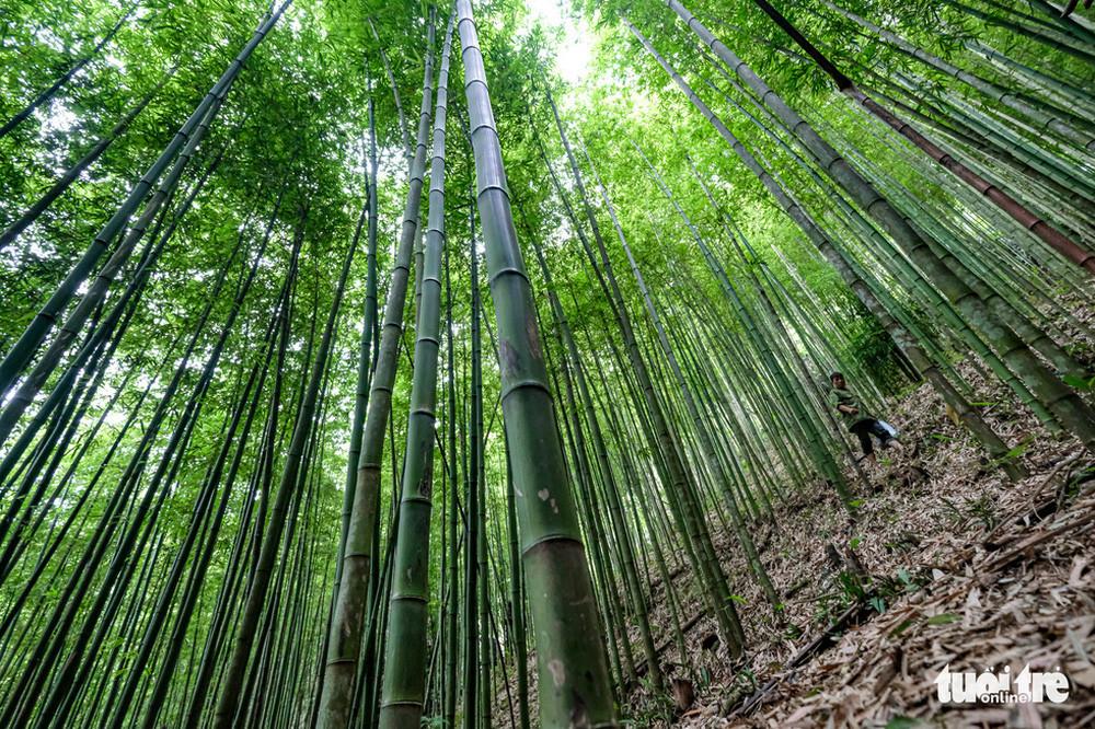 Mê mẩn ngắm nhìn rừng trúc đẹp như phim kiếm hiệp ở Mù Cang Chải - Ảnh 2.