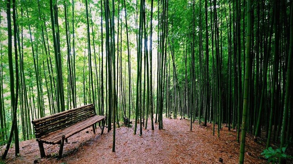 Mê mẩn ngắm nhìn rừng trúc đẹp như phim kiếm hiệp ở Mù Cang Chải - Ảnh 4.