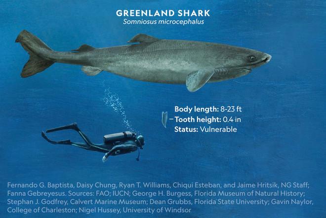 Loài cá mập thọ nhất thế giới: Sống trăm năm mà vẫn chưa đến tuổi dậy thì! - Ảnh 3.