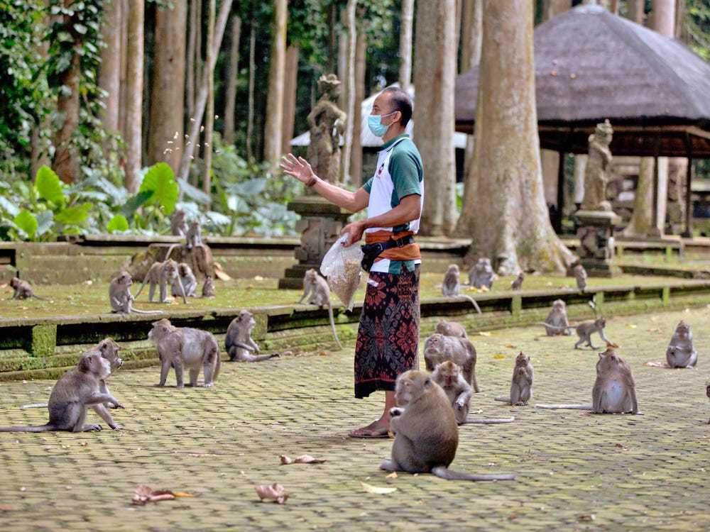 Đàn khỉ đói vào nhà dân cướp đồ ăn trên đảo Bali - Ảnh 2.