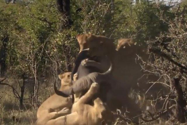 Trâu rừng bị thương chết thảm khi đối mặt với bầy sư tử - Ảnh 3.