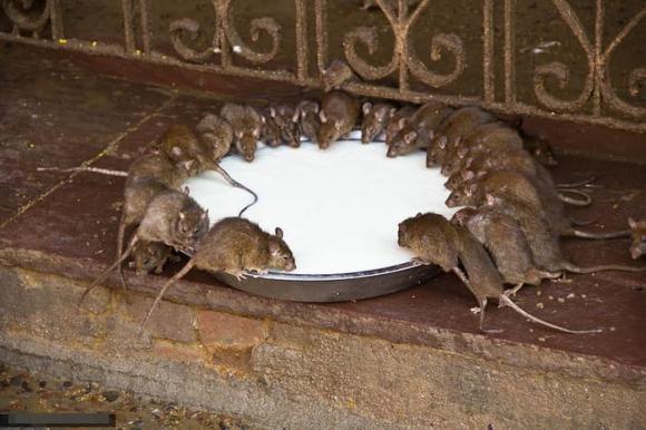 Đừng hoảng sợ nếu có chuột trong nhà! Chỉ cần nửa bát gạo là có thể quét sạch toàn bộ lũ chuột, rất an toàn và không độc hại-4