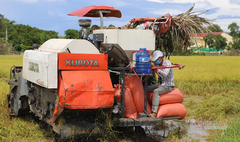 Người dân Thanh Hóa-Nghệ An-Hà Tĩnh hối hả gặt lúa tránh bão Côn Sơn