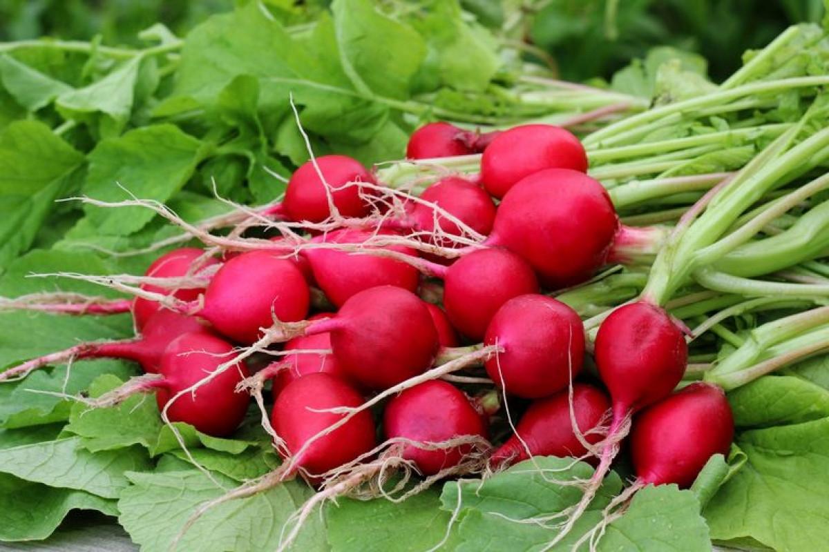 Củ cải có thể trồng trong các thùng chứa hoặc các luống vườn, có thể thu hoạch chỉ sau 20 ngày.Chỉ cần đảm bảo giữ ẩm cho đất và lưu ý đến khoảng cách thích hợp để vãi hạt.