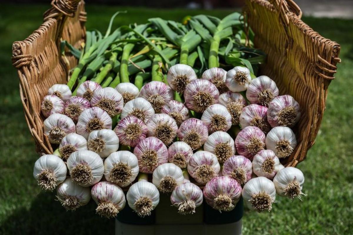 Tháng 9 mùa thu cũng là thời điểm để trồng tỏi, loại củ có nhiều ích lợi cho sức khỏe con người.