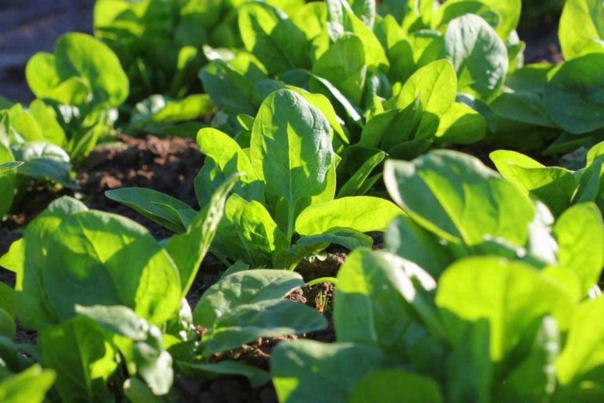 Rau bina phát triển nhanh chóng trong những tháng lạnh.Loại rau này cần đất giàu chất dinh dưỡng.