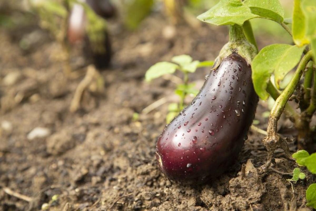 Cà tím có thể được trồng trong các thùng chứa lớn, cách mặt đất khoảng 1,5m. Cần phải đảm bảo diệt bọ để các mầm cây có thể phát triển tốt./.