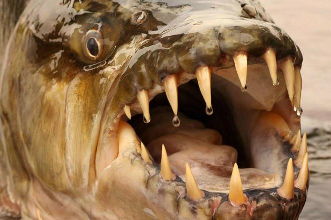 Cá hổ Goliath có thể dài tới 2m, nặng 70kg và thậm chí không sợ cá sấu! - Ảnh 2.