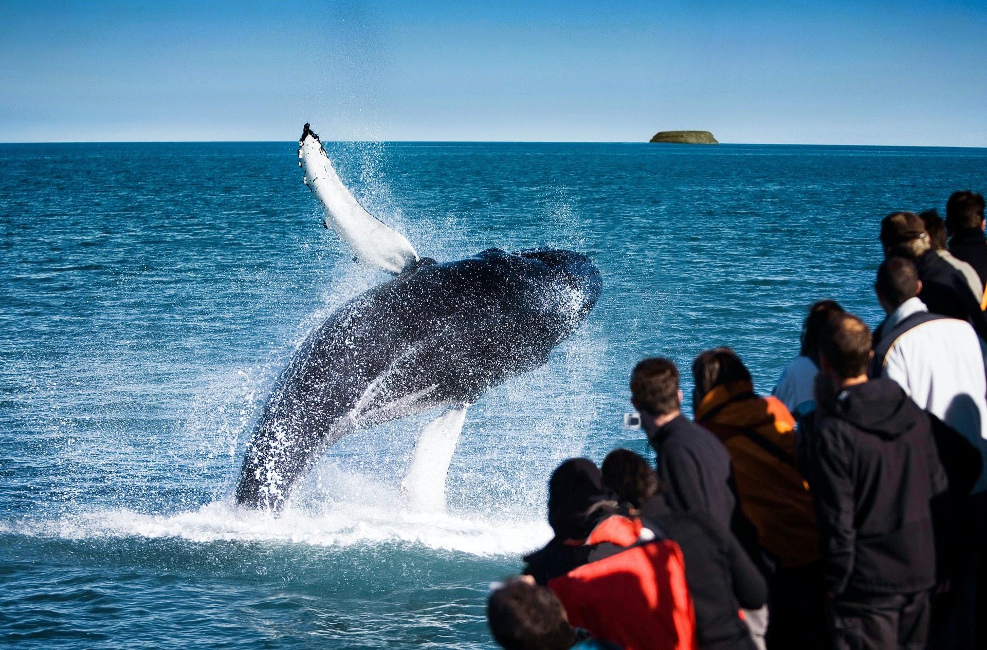 Tour độc đáo ngắm cá voi bảo vệ môi trường ở Iceland - 8