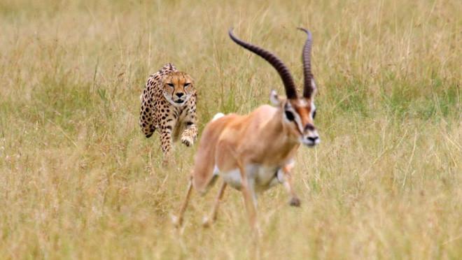 9 loài động vật nhanh nhất trên cạn, dưới nước và trên trời, sức người không có cửa thắng - Ảnh 1.