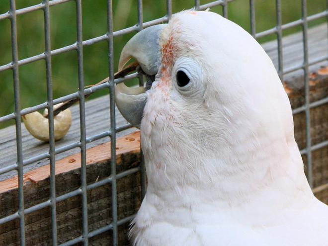 Phát hiện ra loài vẹt mào có khả năng chế tác và sử dụng một bộ công cụ làm từ gỗ - Ảnh 3.