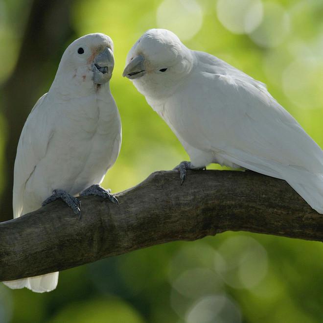 Phát hiện ra loài vẹt mào có khả năng chế tác và sử dụng một bộ công cụ làm từ gỗ - Ảnh 5.