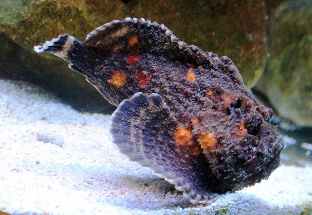 Khám phá loài cá cực độc thu hút thực khách Việt - Ảnh 1.