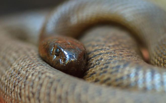10 loài rắn nguy hiểm nhất thế giới, nếu có gặp thì phải né luôn và ngay - Ảnh 13.