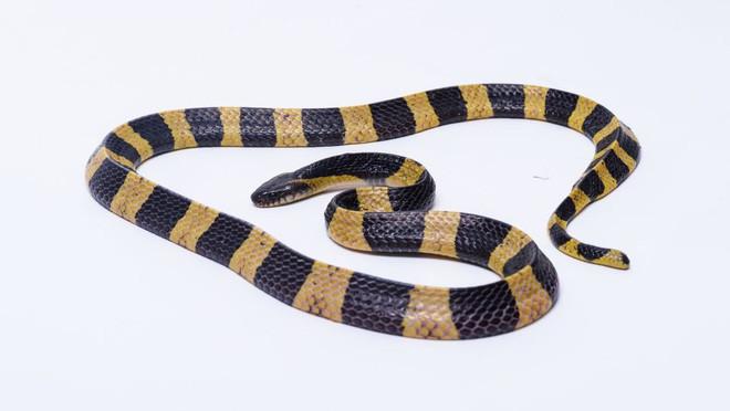 10 loài rắn nguy hiểm nhất thế giới, nếu có gặp thì phải né luôn và ngay - Ảnh 9.