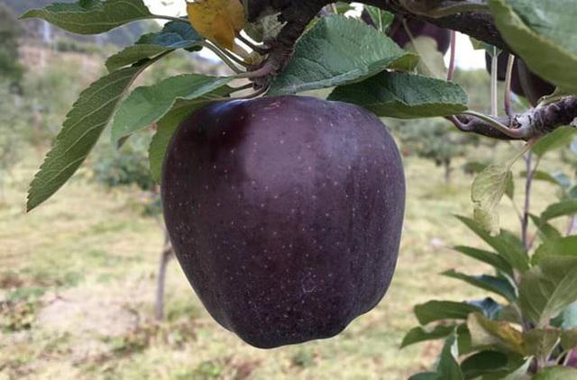 Tận mục giống táo ví như kim cương đen, nửa triệu đồng/quả-3