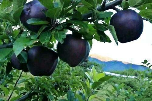 Tận mục giống táo ví như kim cương đen, nửa triệu đồng/quả-4
