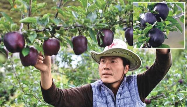Tận mục giống táo ví như kim cương đen, nửa triệu đồng/quả-5