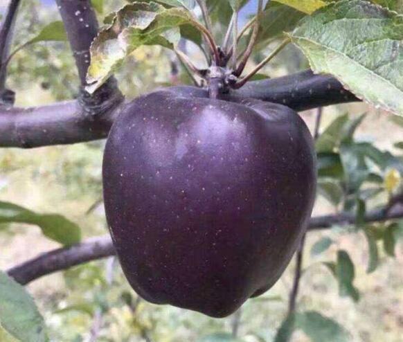Tận mục giống táo ví như kim cương đen, nửa triệu đồng/quả-9