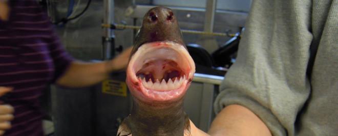 Loài cá mập có cái tên dễ thương, nhưng nhìn phát là biết thương không nổi - Ảnh 1.