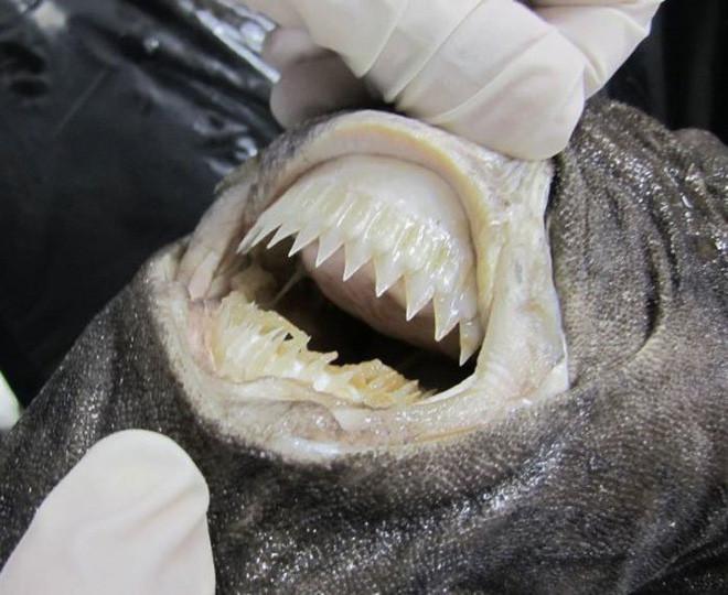 Loài cá mập có cái tên dễ thương, nhưng nhìn phát là biết thương không nổi - Ảnh 2.