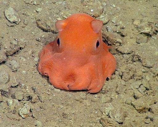 """Ở đây có một """"chiếc"""" bạch tuộc cute nhất thế giới gọi là Adorabilis! - Ảnh 5."""