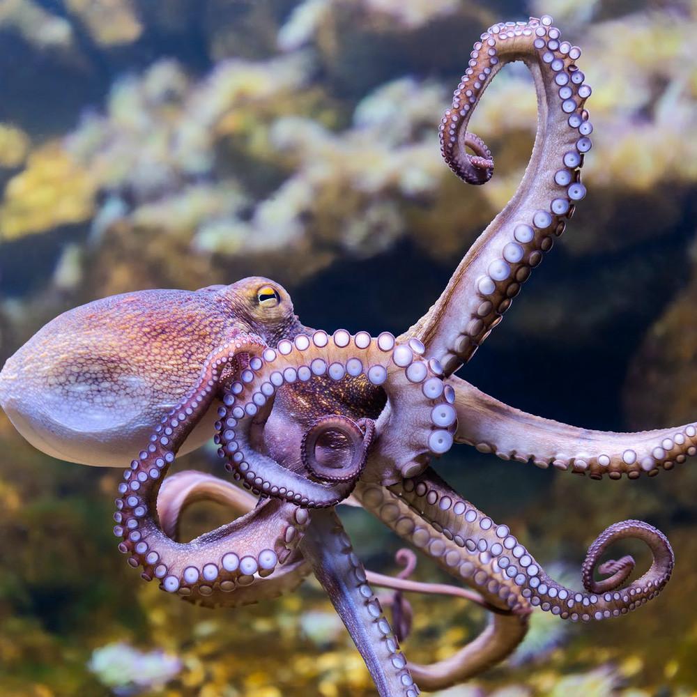 """Ở đây có một """"chiếc"""" bạch tuộc cute nhất thế giới gọi là Adorabilis! - Ảnh 4."""