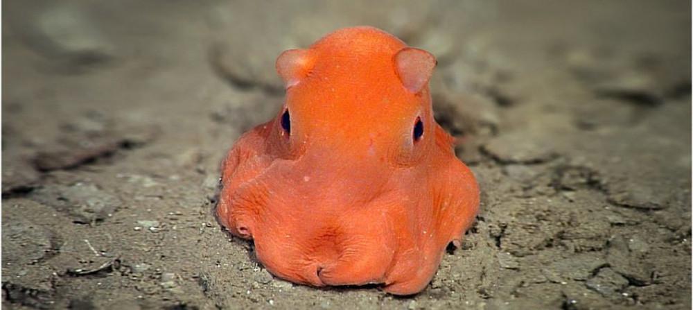 """Ở đây có một """"chiếc"""" bạch tuộc cute nhất thế giới gọi là Adorabilis! - Ảnh 9."""