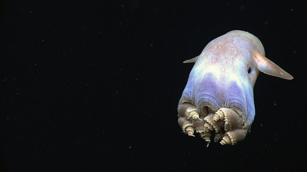 """Ở đây có một """"chiếc"""" bạch tuộc cute nhất thế giới gọi là Adorabilis! - Ảnh 10."""