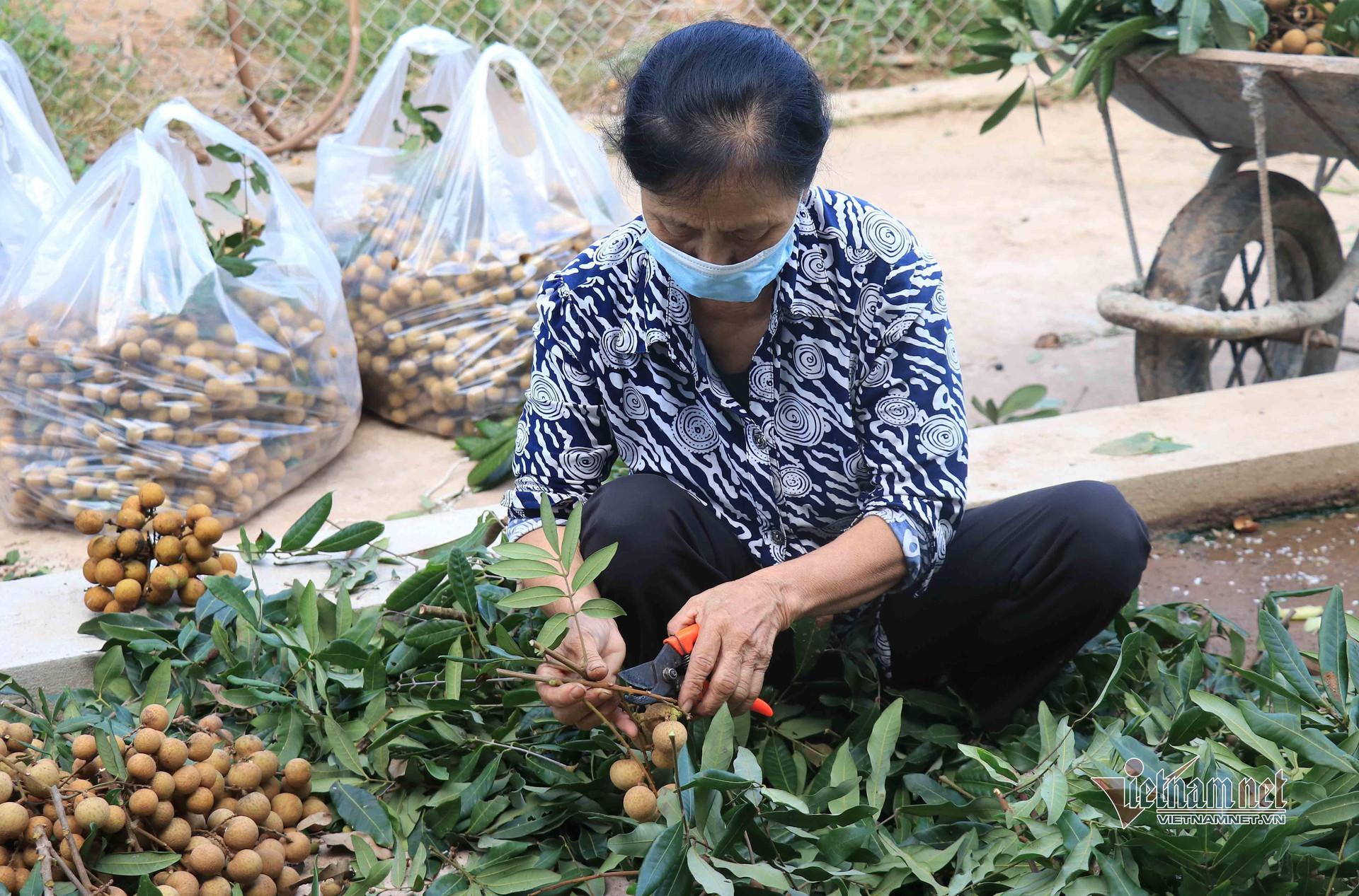 Đặc sản nhãn Hưng Yên mất mùa, giá rẻ hơn rau - 2