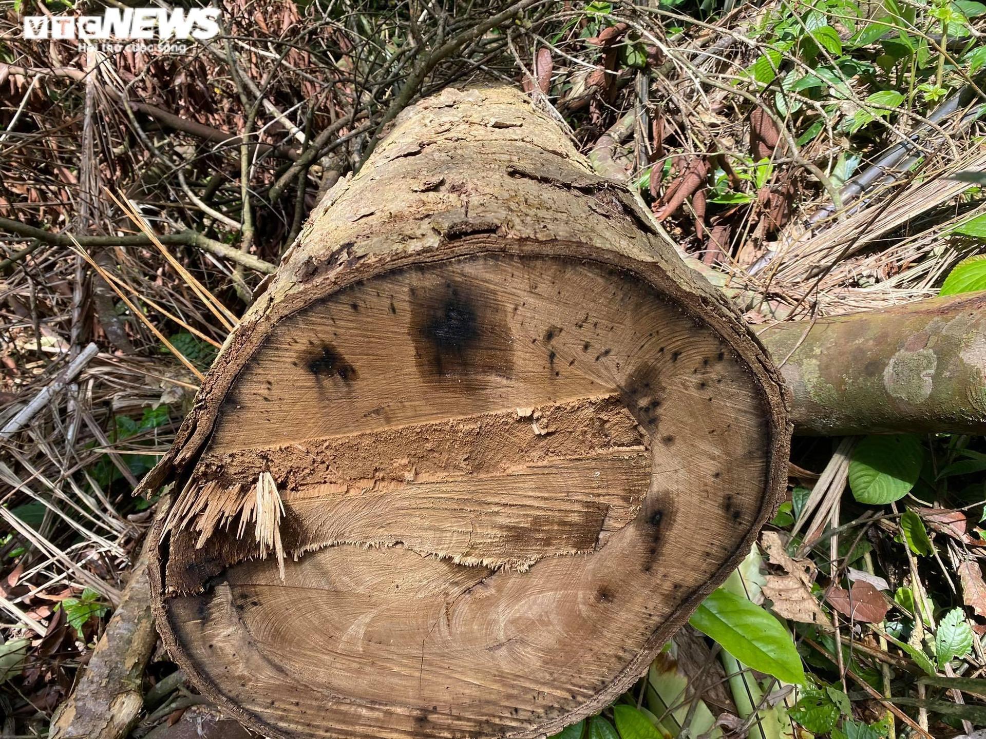 Rừng phòng hộ ở Thừa Thiên - Huế bị xẻ thịt: Lãnh đạo tỉnh chỉ đạo kiểm tra - 4