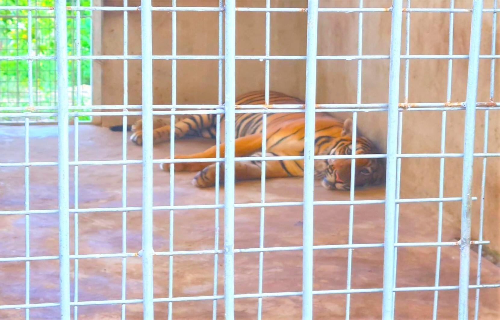 Nuôi nhốt hổ trái phép tại nhà dân ở Nghệ An: Thông tin mới về 9 con hổ còn sống - 1