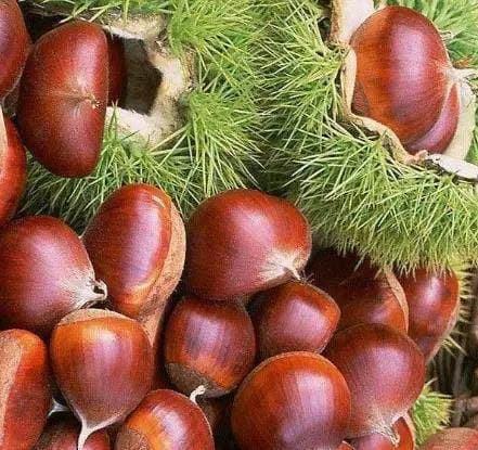 Khi mua hạt dẻ nên chọn hạt tròn hay dẹt? Mách bạn cách bảo quản hạt dẻ, để cả năm vẫn tươi và không bị hôi-8